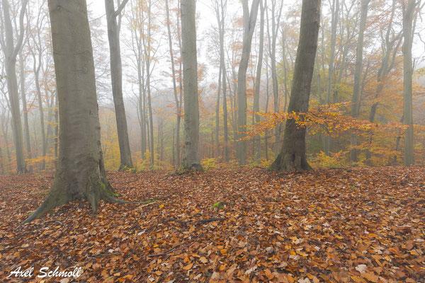 Die Wildnisgebiete im Waldgebiet der Hohen Schrecke sind für das Überleben unserer heimischen Buchenwälder von herausragender Bedeutung.