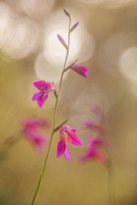 Illyrische Siegwurz (Gladiolus illyricus)