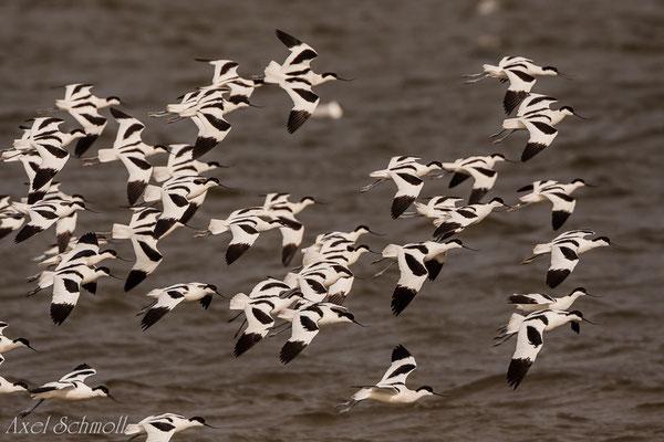 Säbelschnäbler (Recurvirostra avosetta) - Sylt