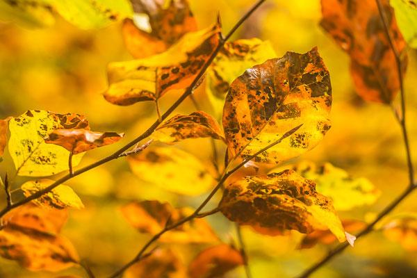 Vergehendes Herbstlaub