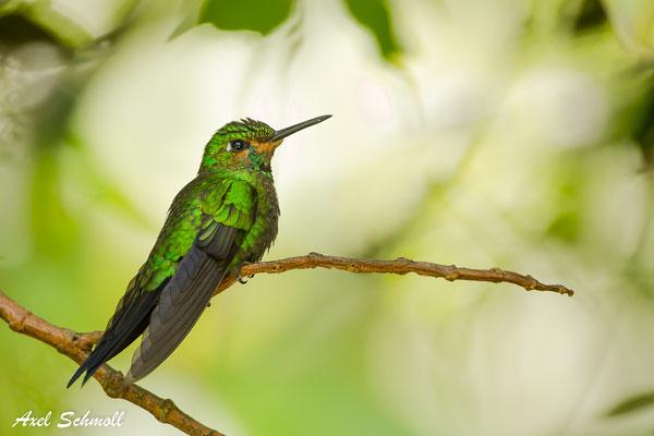Grünstirn-Brillenkolibri (Heliodoxa jacula) - green-crowned brilliant - Sante Elena
