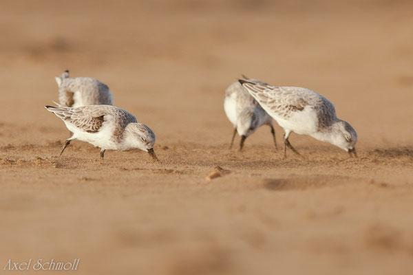 Sanderling (Calidris alba) - Lanzarote
