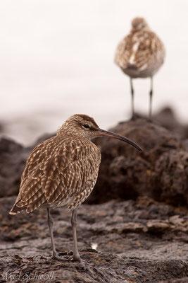 Regenbrachvogel (Numenius phaeopus) - Fuerteventura