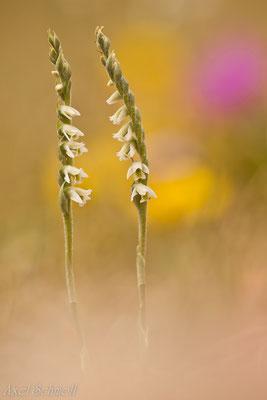 Herbst-Wendelorchis (Spiranthes spiralis)