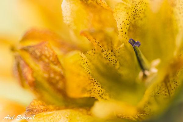 Tüpfelenzian (Gentiana punctata) - ins Innere geschaut
