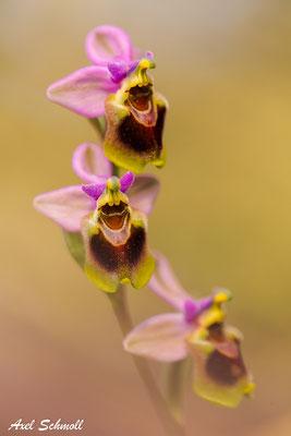 Wespenragwurz (Ophrys tenthredinifera) - Mallorca