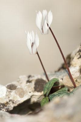Balearen-Alpenveilchen (Cyclamen balearicum)