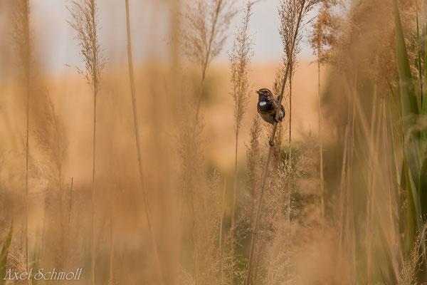 Blaukehlchen (Luscinia svecica) -Sachsen