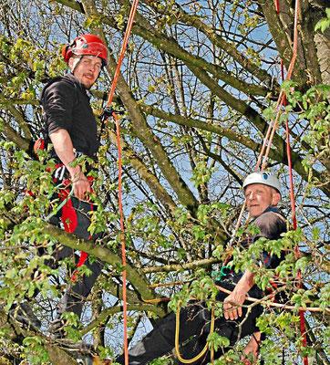Arbeitseinsatz in luftiger Höhe: Die Ruhstorfer Seil- und Industriekletterer bei der Baumpflege.