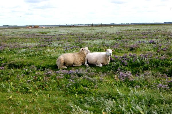 Schafe im Halligflieder in der Salzwiese