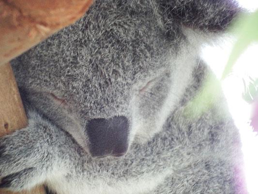 Koala, schnorchelnd