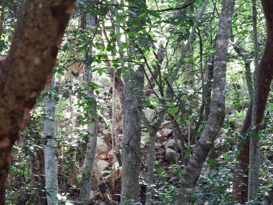 überall im Dickicht sind noch nicht freigelegte Bau-Schätze der Maya, Chichén Itzá, Yucatán - Mexiko