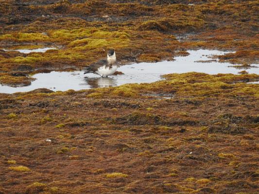 arktischer Vogel