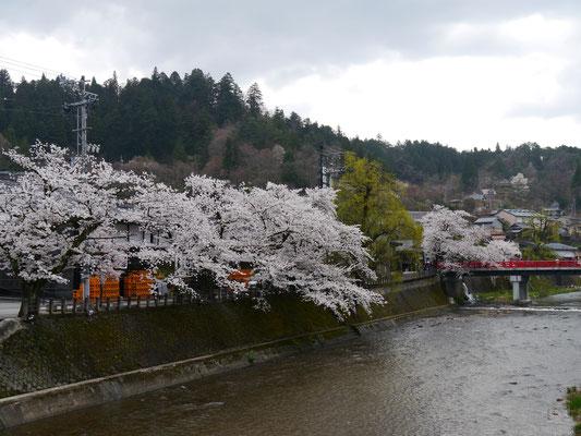 sakura auf Honshū