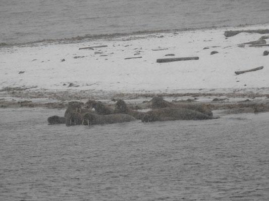 und sogar ganz viele Walrösser