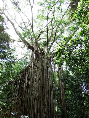 sogenannter Curtain Fig Tree - eine Würgefeige, die den Baum darunter absterben lässt