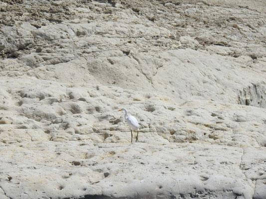 antarktischer Storch