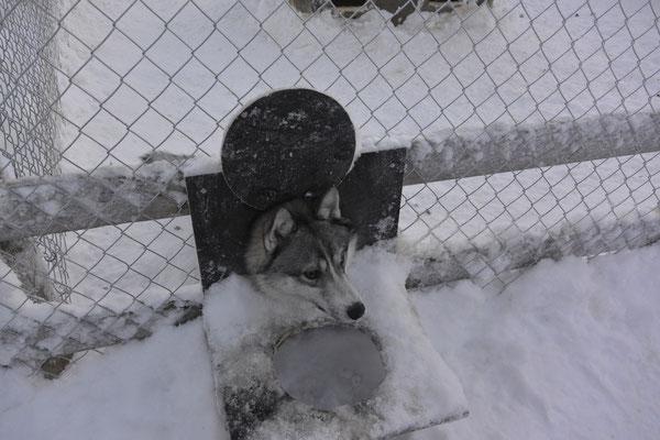 neugieriger Husky
