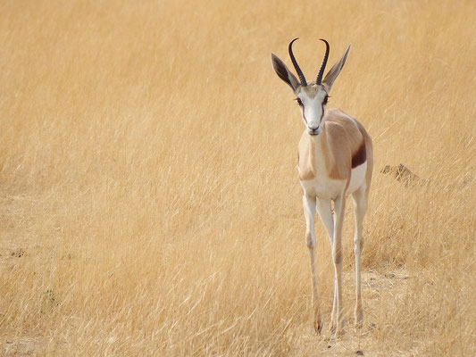 Impala-Antilope