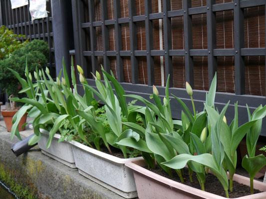 Tulpen! Die ursprünglich in der Türkei kultiviert waren und über die Holländer zu uns kamen. Wie sie den Weg nach Japan fanden? Wissen wir nich.