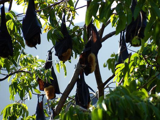 die zu Tausenden in den Bäumen tagsüber schlafen