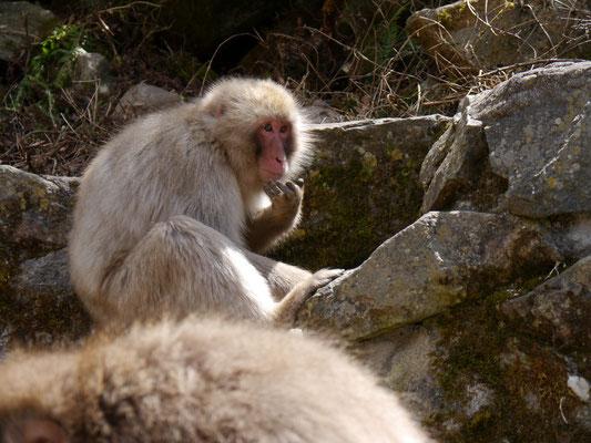 Japanmakaken (Schneeaffen) im Jigokudani Monkey Park bei den heißen Quellen von Yamanouchi, Nagano