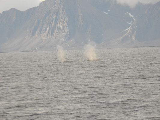 prustende  Finnwale