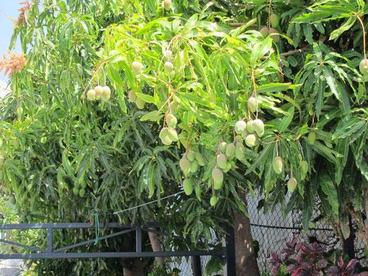 Mangos, frisch vom Baum, hmmm!