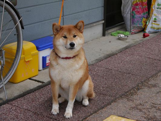 ein waschechter Akita