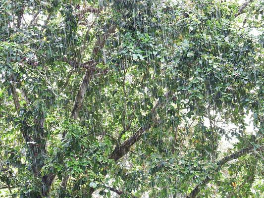 genau hinschauen - es regnet im Regenwald
