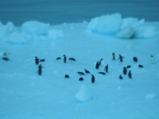 Pinguine in der Antarktis, ja-ha, leider unscharf
