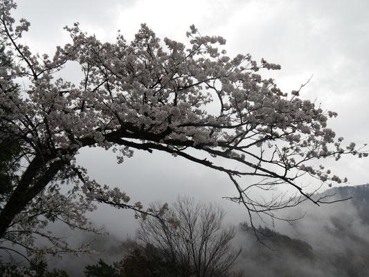 Shirakawagō - auch hier ist Kirschblüte