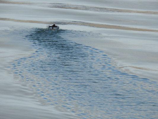 ein über das Wasser hüpfender Papageienvogel