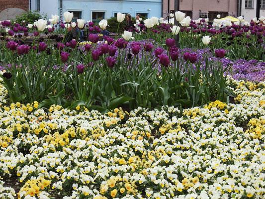 Aaah, für Tulpen muss man und Stofftier gar nicht nach Holland -