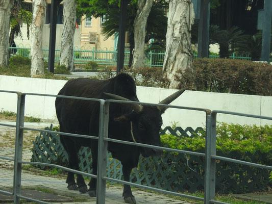 die freilaufenden Rinder