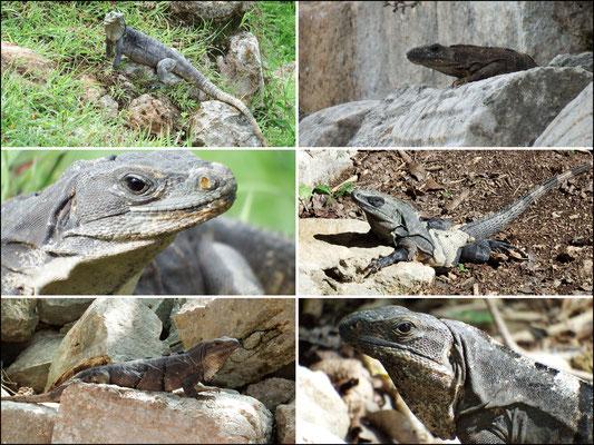 Leguane - Leguane - Leguane (gelernt: mit Rückenzacken sind Männchen)