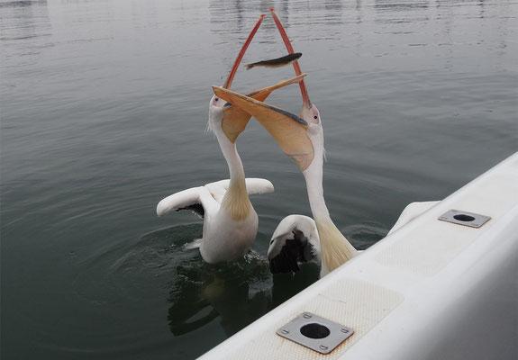 ... sondern auch bei den Pelikanen das Fotografen-Schnappschuss-Glück hold war - danke für die Aufnahmen!
