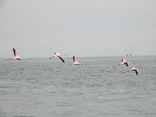 ... und elegant die Flamingos davonfliegen.