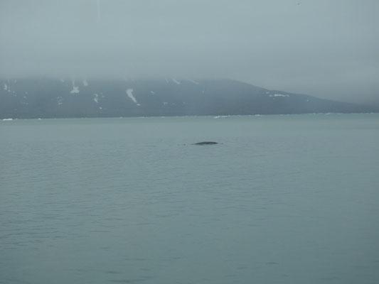 auftauchender Finnwal in der Ferne