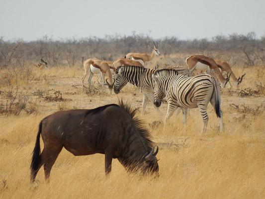 Gnu, Zebras, Impala-Antilopen