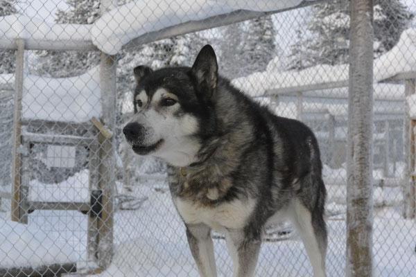Oscar, der älteste Husky auf der Farm, stolze 14 Jahre alt.