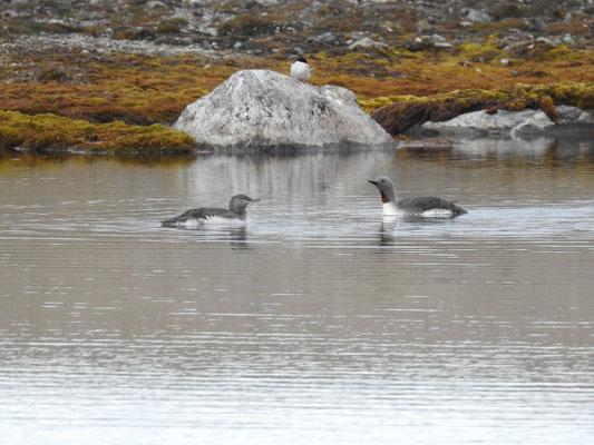 arktische Vögel