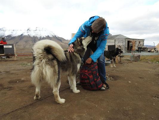 Greenland-Husky, der toootal verschmust war