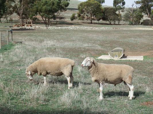 und Schafe gibt's natürlich auch