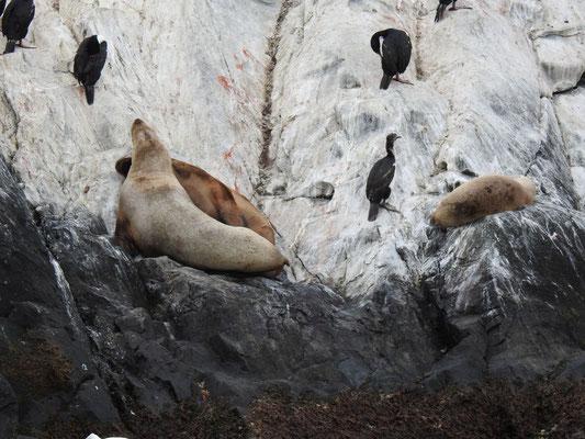 Kormorane und Robben bei Ushuaia