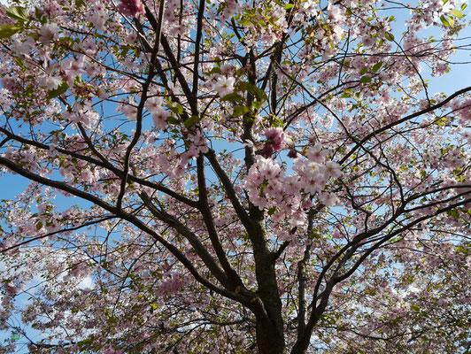Die Parks strahlten um die Wette mit Kirschblüten.