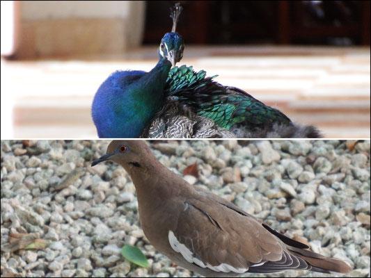 von oben nach unten: (1) Nicht nur in Schloß Rheydt gibt es Pfaue, auch in Mexiko. (2) Desgleichen gilt für Tauben.