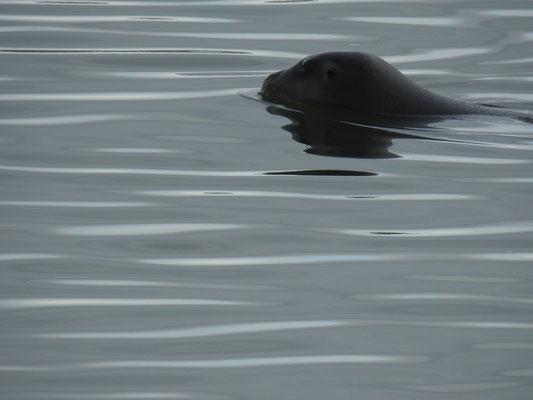 Robbe am Hafen Ny Ålesunds