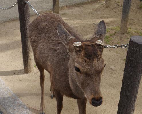 Shika-Hirsch in Nara