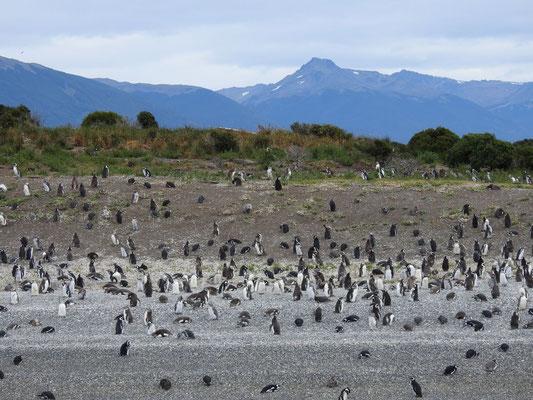 Pinguine in Ushuaia